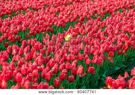 Yellow Tulip Between Red Tulips