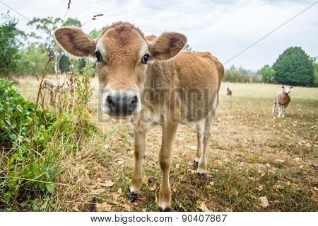 Curious Calf And Sheep