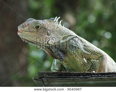 Iguana on Ledge