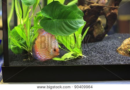 Colored Discus