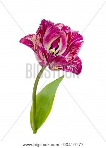 purple fringed tulip