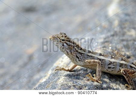 Beautiful Little Lizard On The Rock In Nature Detail Photo