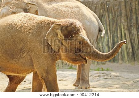 young asian elephant enjoys a warm day