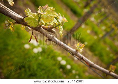 Vineyard In Slovenia In Early Spring