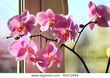 Blossoming Pink Orchid