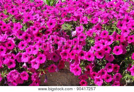 Pink Petunias