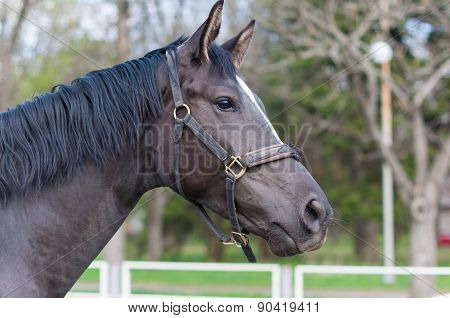 Portrait of a thoroughbred black  stallion