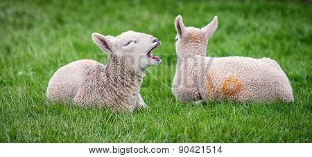 Yawning lamb