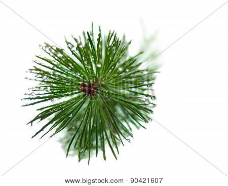 Wet Needles On Pine Tree