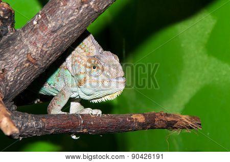 Veiled Chameleon Or Chamaeleo Calyptratus