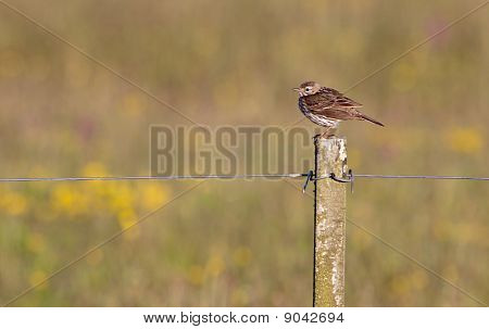Meadow Pipit Bird On A Pile