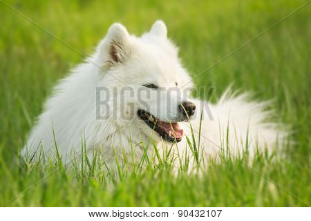 Portrait of Samoyed dog lying on green grass