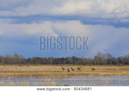 A Herd Of Deer Running On A Flooded Field.