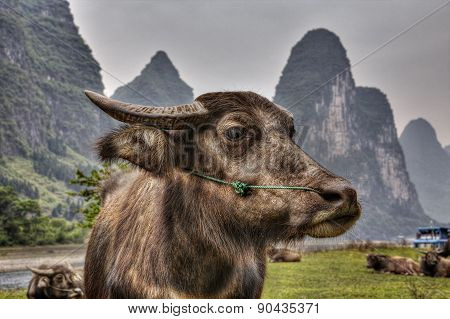 Close-up Portrait Of Reddish Cows Grazing In Pasture, Li River.