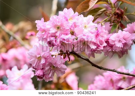 Prunus Serrulata Or Japanese Cherry