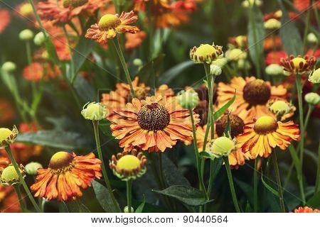 Beautiful Helenium Hybridum Flowers