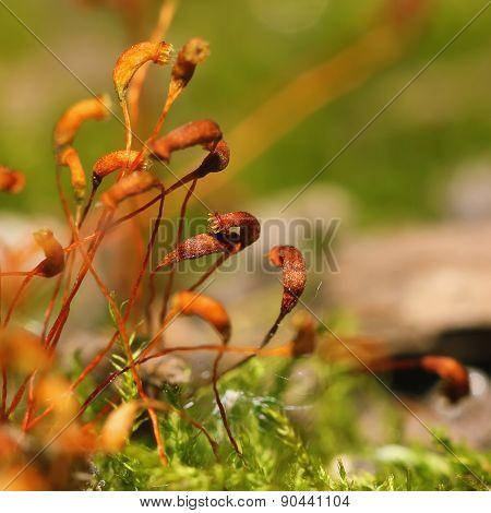 Moss Spores Closeup