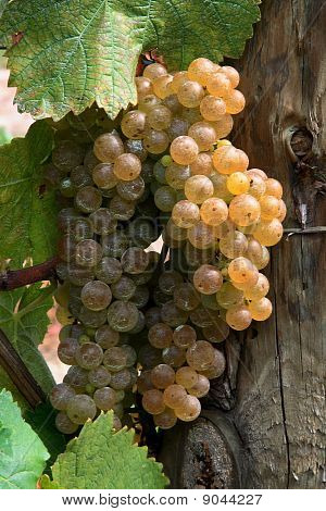 Wine Grape.