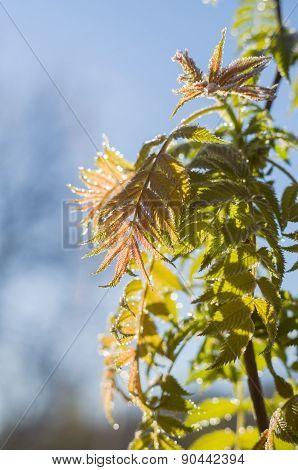 Natural Rowan Tree Leaves On Sunrise