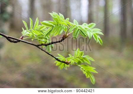 Rowan Tree Natural Fresh Branch