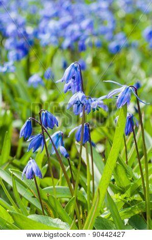 Scilla Springtime Blue Flowers Closeup