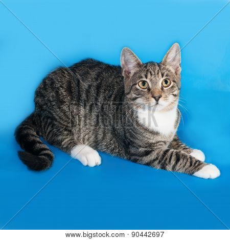Tabby Kitten With White Spots Lies On Blue