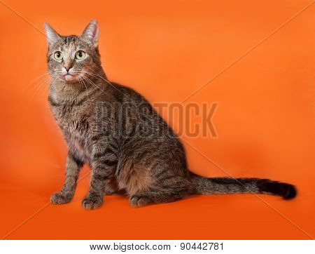 Tricolor Striped Cat Sitting On Orange