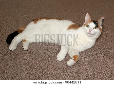 Tricolor Cat Lying On Floor
