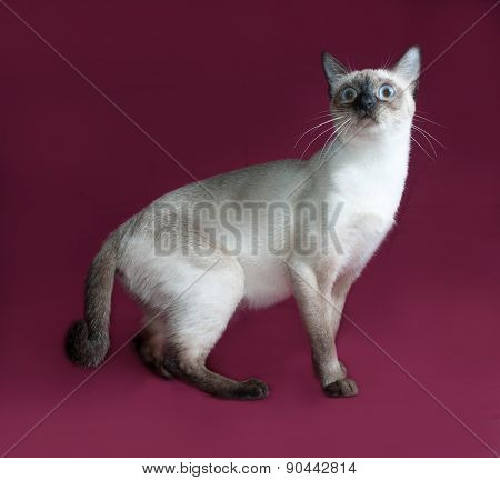 Thai White Cat Sitting On Burgundy