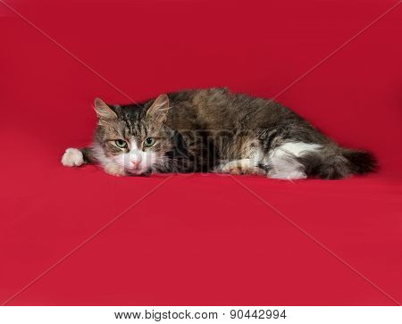 Fluffy Tabby And White Cat Lies On Red