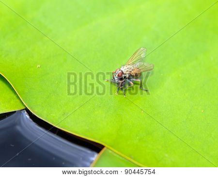 Coenosia Tigrinya predatory fly eating a small insect; fly sitting on a lily pad