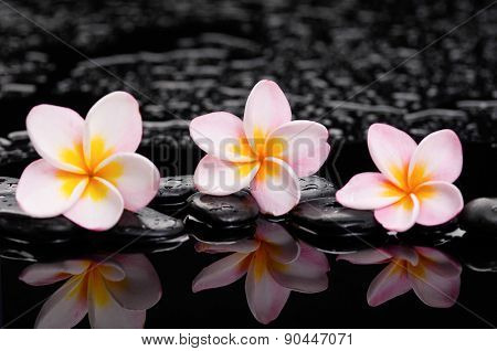 Three frangipani with black wet stones