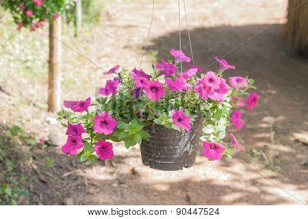 Petunia In Pot.