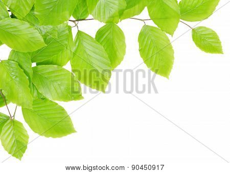 Spring Beech branch with green leaves
