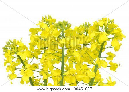 Flower of a rapeseed,