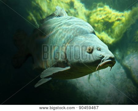 Underwater photo of a trophy Mirror Carp (Cyprinus Carpio) sunbathing nearly at level in a fish pond. Typical behavior in hot summer day.