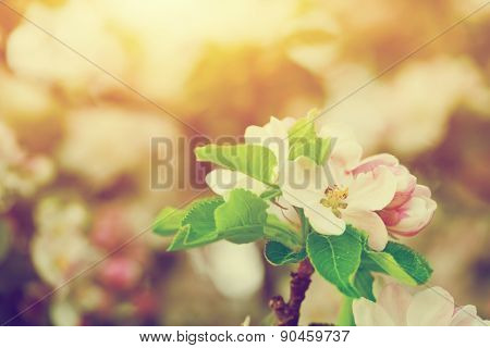 Spring tree flowers blossom, bloom in warm light, sun. Vintage