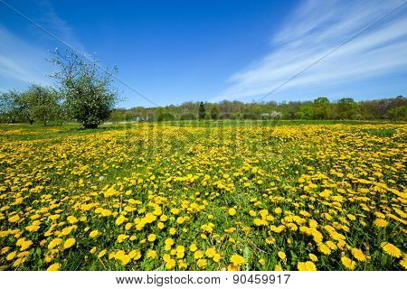Spring meadow full of dandelions flowers and green grass. Blue sky