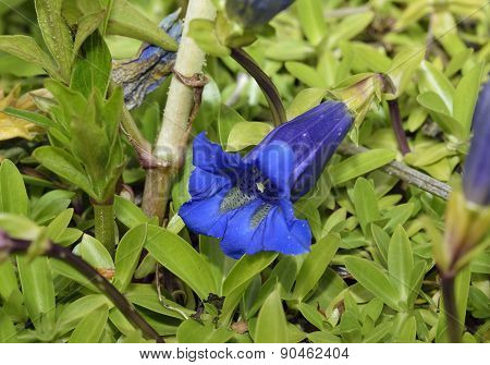 Trumpet Or Stemless Gentian