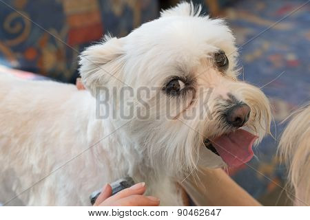 Maltese Dog Is Looking To The Camera During Grooming