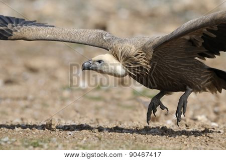 Griffon vulture on ground