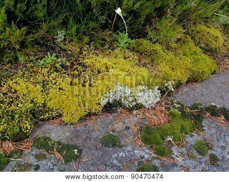 Flora of Karelia, Zalavruga