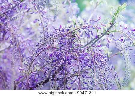 Beautiful flowers of fuji (Wisteria floribunda) vine, blooming in spring. Intentionally shot in high key and shallow depth of field for dreamy feel.