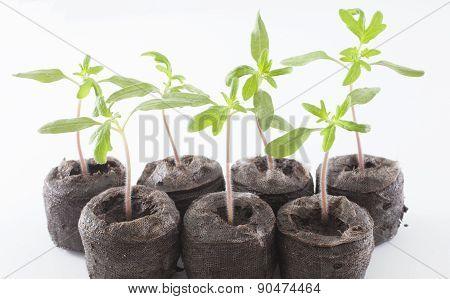Cherokee Purple Plants