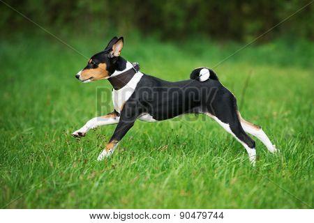 tricolor basenji puppy running
