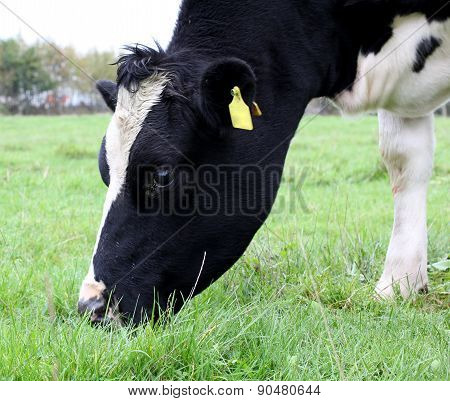 Black And White Cows On Farmland.