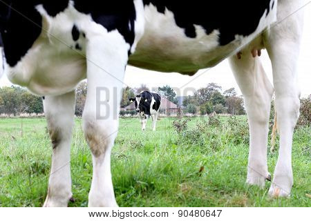 Black And White Cows On Farmland