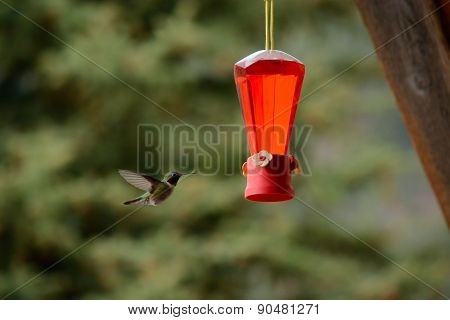 Hummingbird Flies to Feeder