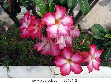 Desert Flower, Adenium Obesum