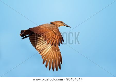 Hamerkop bird (Scopus umbretta) in flight with outstretched wings, South Africa